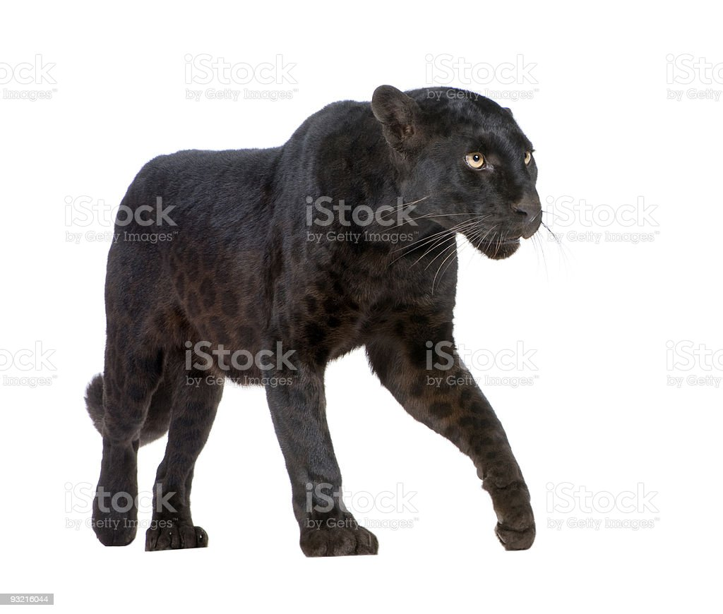 Black Leopard (6 years) in front of a white background. stock photo