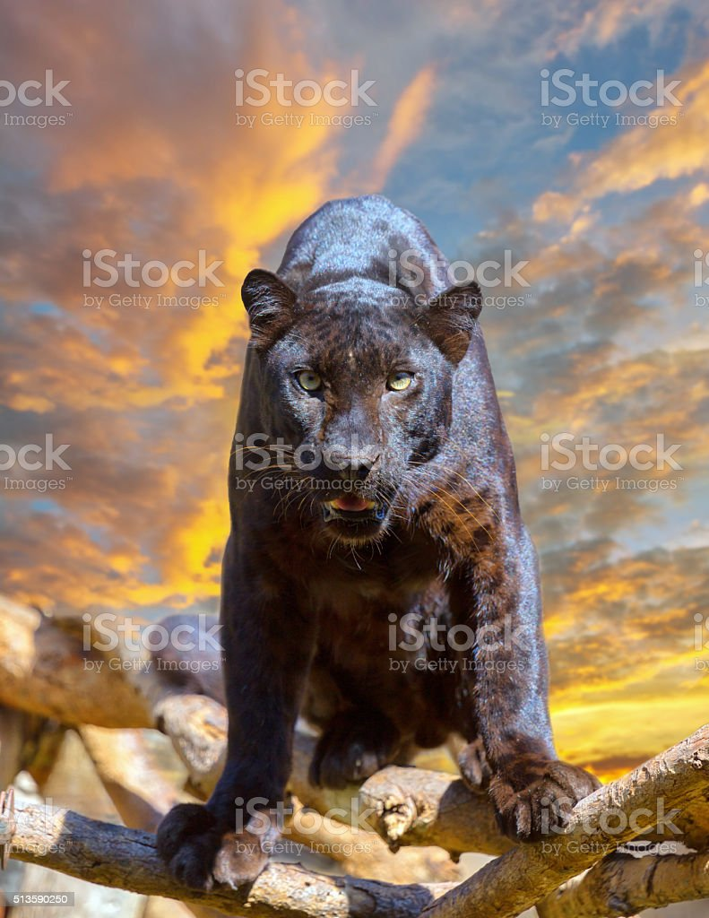 Black leopard looking camera with beautyful sky at sunset stock photo