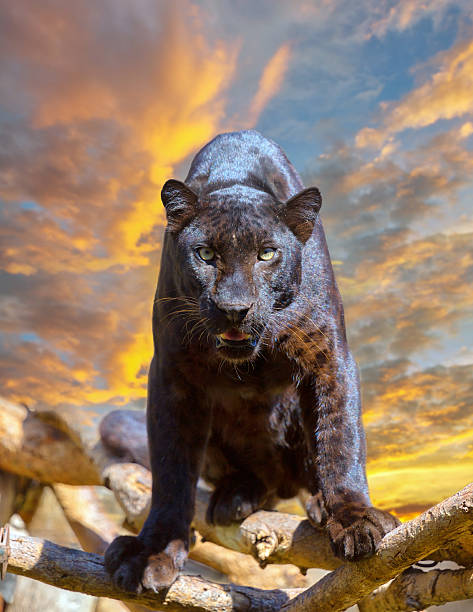 Black leopard looking camera with beautyful sky at sunset​​​ foto