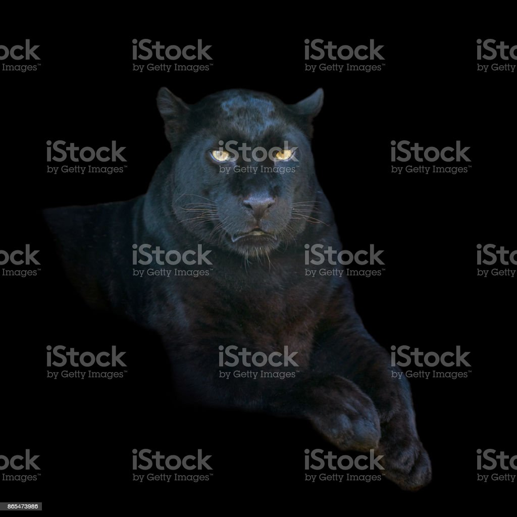 Black leopard on dark background stock photo