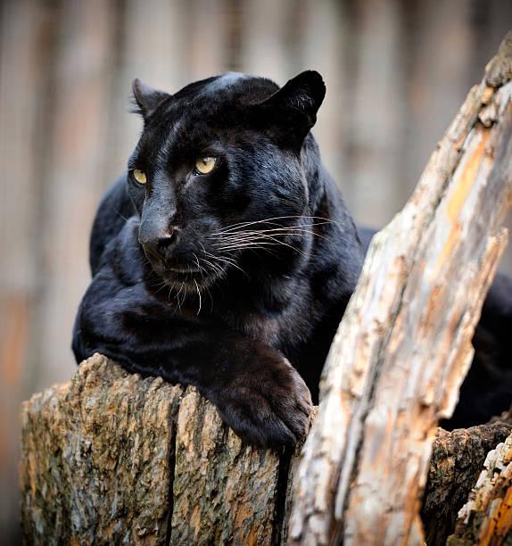 Black leopard圖像檔