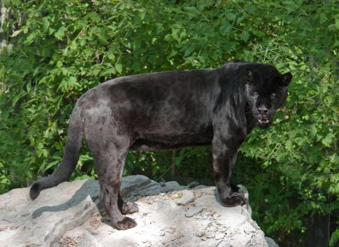 Black Leopard-foton och fler bilder på Amazonasregionen