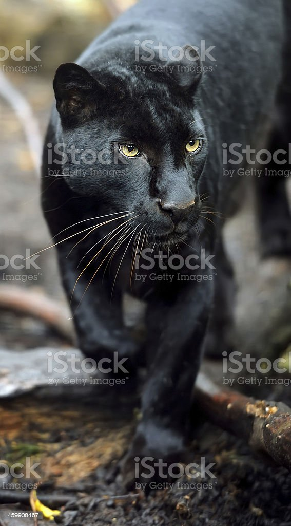 Black leopard stock photo
