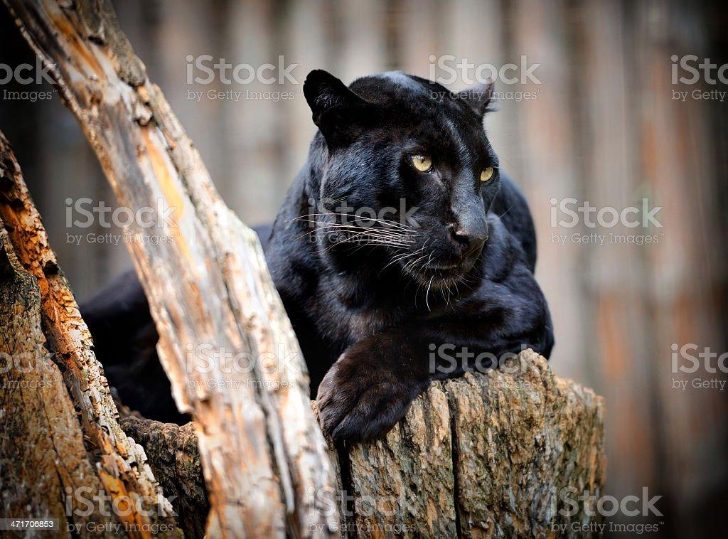 Black leopard stock photo