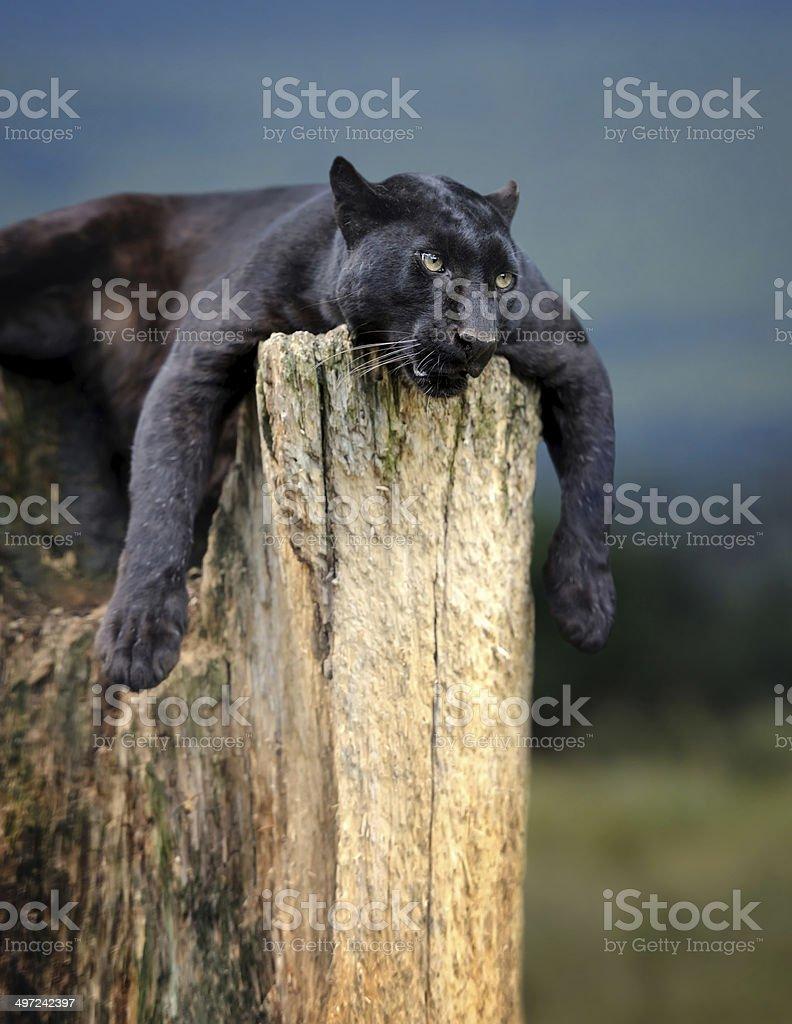 Black leopard - Royaltyfri Afrika Bildbanksbilder