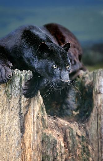 Black Leopard-foton och fler bilder på Afrika