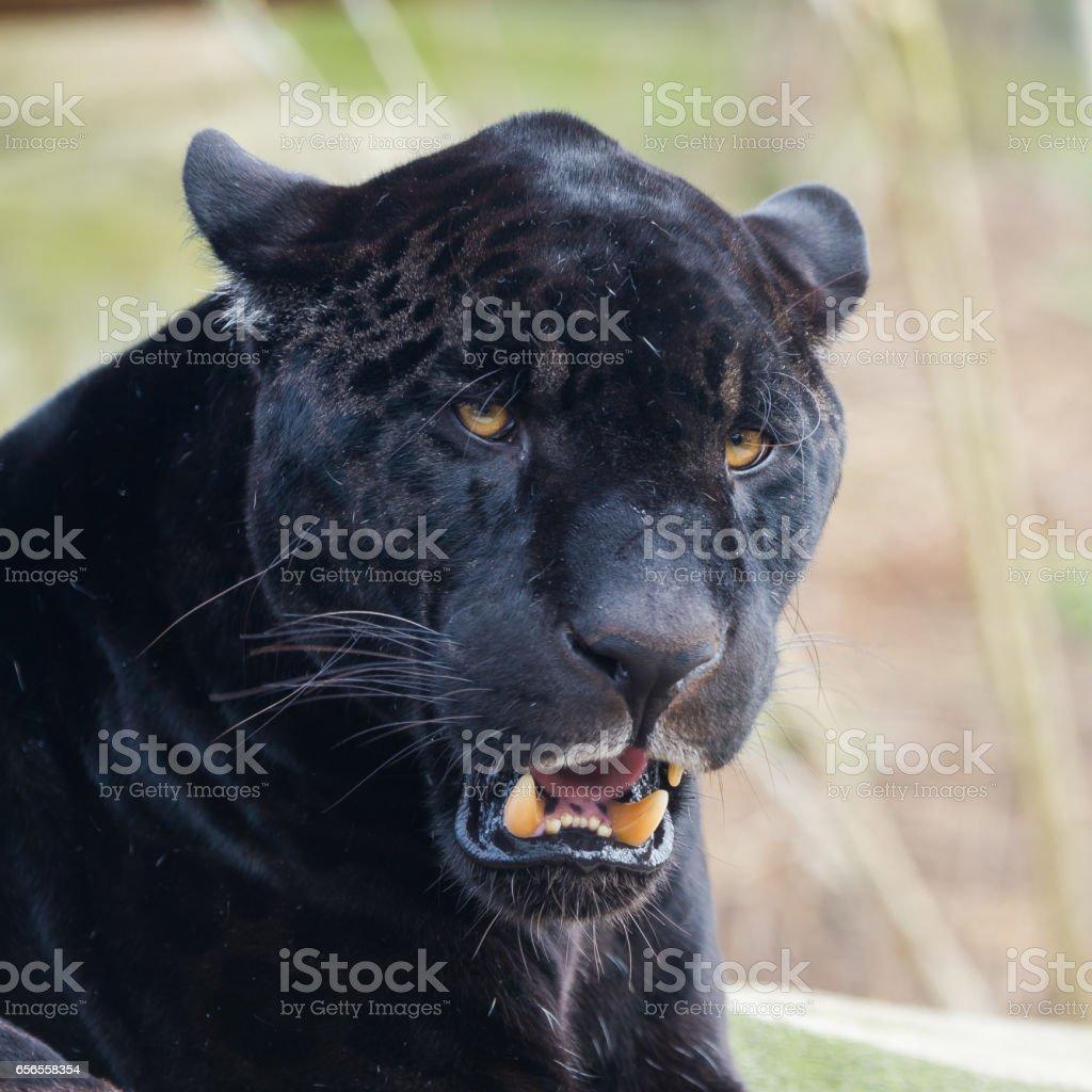 Svart leopard - Royaltyfri Afrika Bildbanksbilder