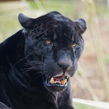 Svart Leopard-foton och fler bilder på Afrika