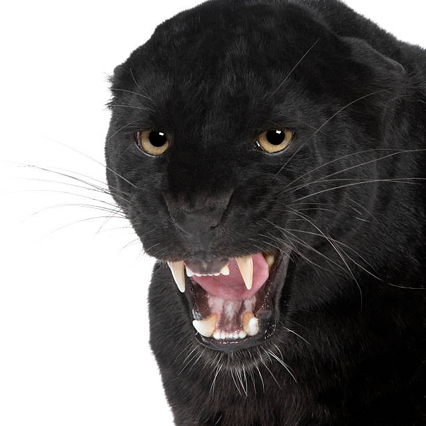 black leopard (6 years) - black leopard stock pictures, royalty-free photos & images