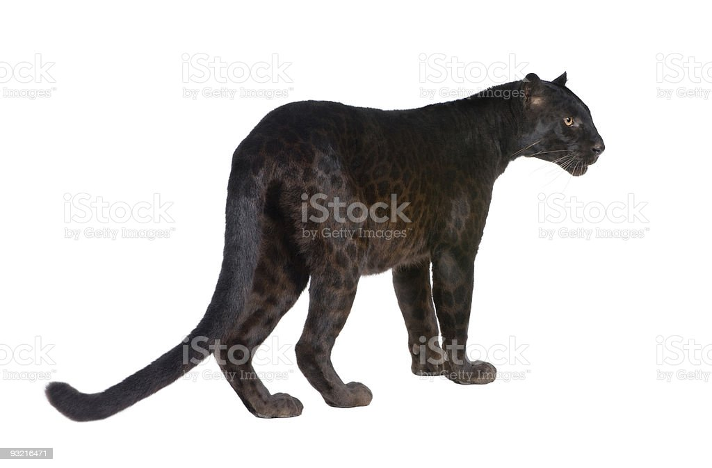 Black Leopard (6 years) stock photo