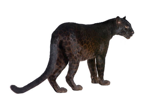 Black Leopard (6 years)​​​ foto