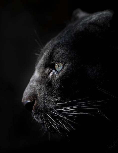 panthère noire profil. - panthere noir photos et images de collection