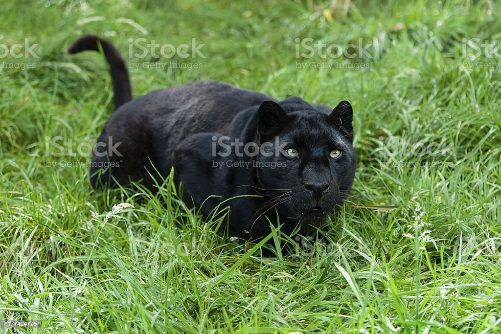 Black Leopard Ready to Pounce in Long Grass stock photo