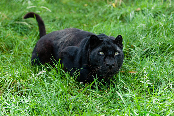 Black Leopard Ready to Pounce in Long Grass​​​ foto