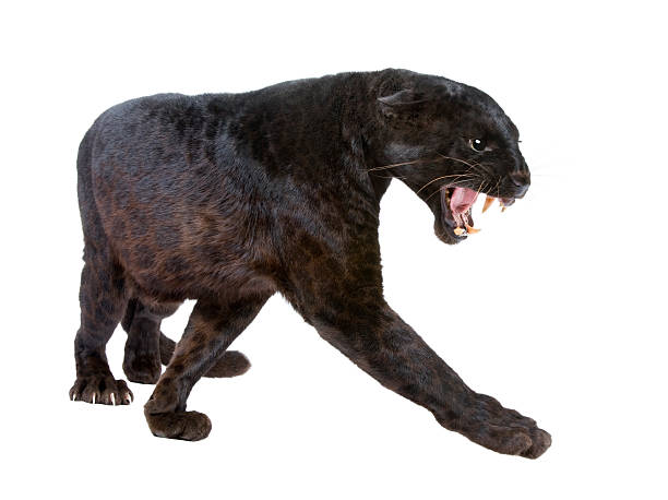 black leopard ready to prey with white background - black leopard stock photos and pictures