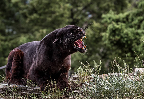 Black Leopard Snarling​​​ foto