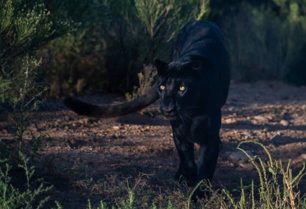 black leopard stalking - black leopard stock pictures, royalty-free photos & images