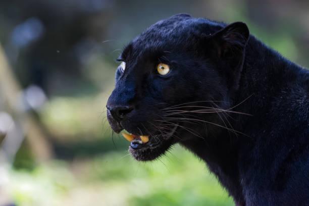 schwarzer leopard mit seinen mund offen - guatemala stadt stock-fotos und bilder