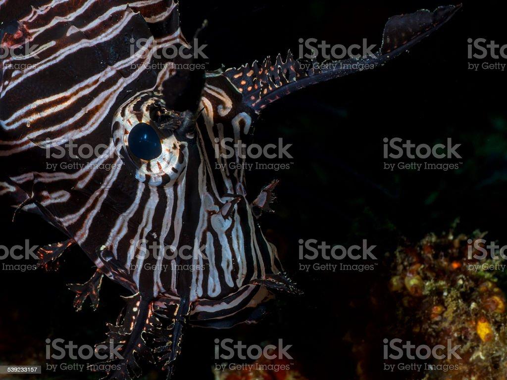 Cabeza de león negro lado Retrato de la cara foto de stock libre de derechos