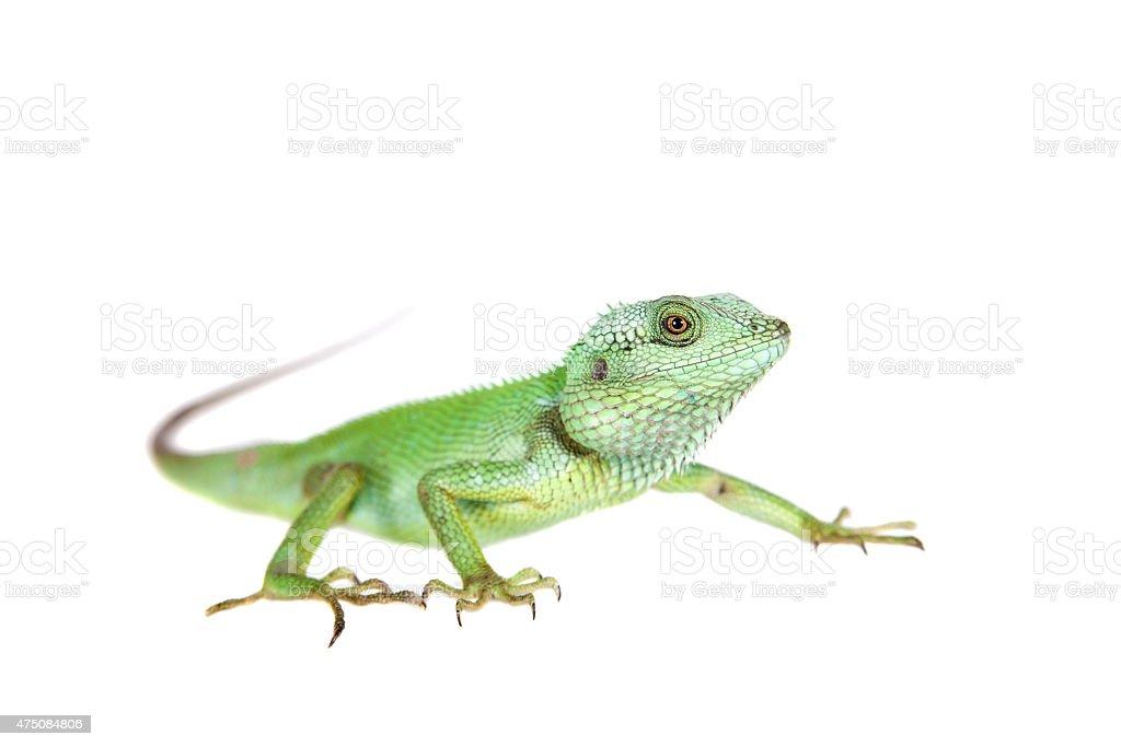 Black lipped Lizard, Calotes nigrilabris, on white stock photo