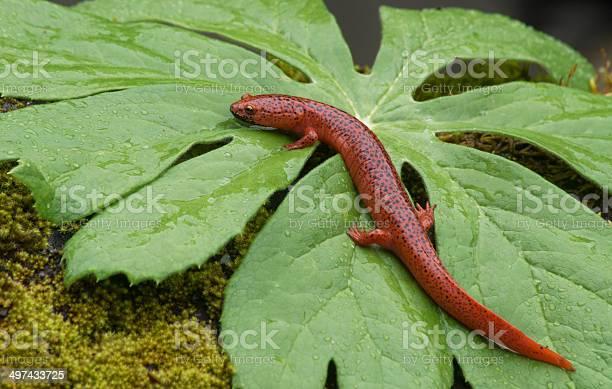 Photo of Black Lipped Salamander sitting on a green leaf.