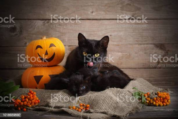 Black little cat with halloween pumpkins picture id1018659592?b=1&k=6&m=1018659592&s=612x612&h=fyxg0gy1url zvwy xn6mwqslgyic4ifwnvseyqm2 u=