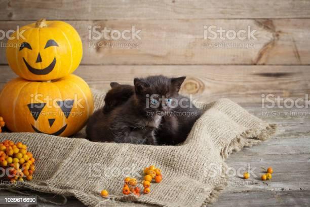 Black little cat with halloween pumpkins picture id1039616690?b=1&k=6&m=1039616690&s=612x612&h=ceybx fy8u4ccpy1wuhp9at9eosde5rh3smyh ppps4=