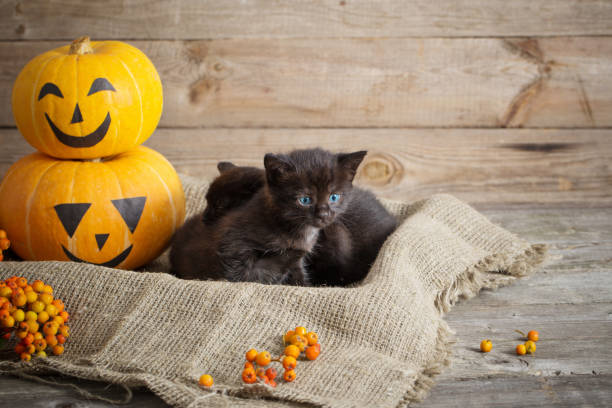 Black little cat with halloween pumpkins picture id1039616690?b=1&k=6&m=1039616690&s=612x612&w=0&h=uyqtsehuu3wtqj k0lnxtvmy32l c5icmm30cr5o0hs=