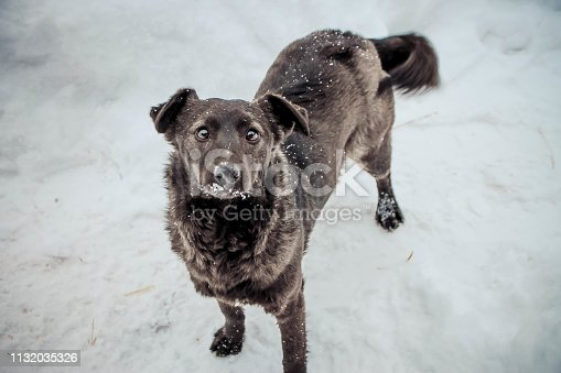 a black little dog with shining eyes is standing on the snow and looking up