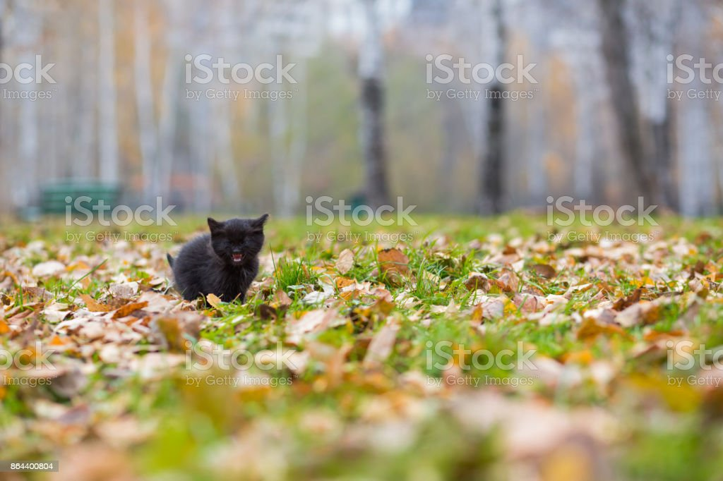 Black little kitten at the autumn meadow among fallen leaves stock photo