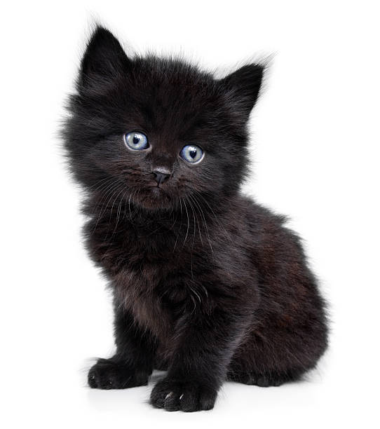 Black little kitten on a white background picture id179990790?b=1&k=6&m=179990790&s=612x612&w=0&h=4e7myu1d8oywcelvtnd152mitbfqend87ytaxr164fw=