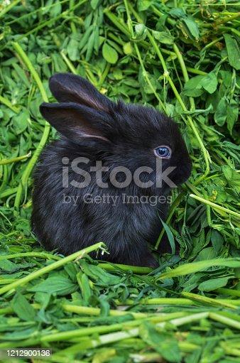 istock Black  little rabbit 1212900136