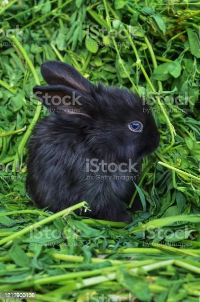 Black little rabbit picture id1212900136?b=1&k=6&m=1212900136&s=612x612&h=nofdbyaxetftivnicacb4p8xq1occx3wtnmhbwwclcq=
