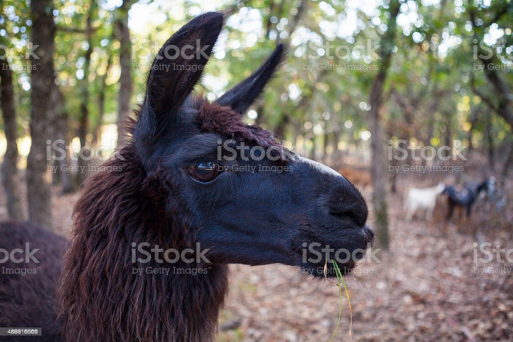 Black Llama Head stock photo