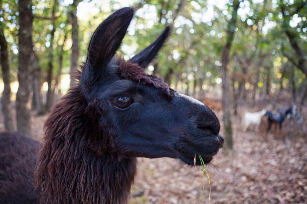 Black Llama Head stock photo