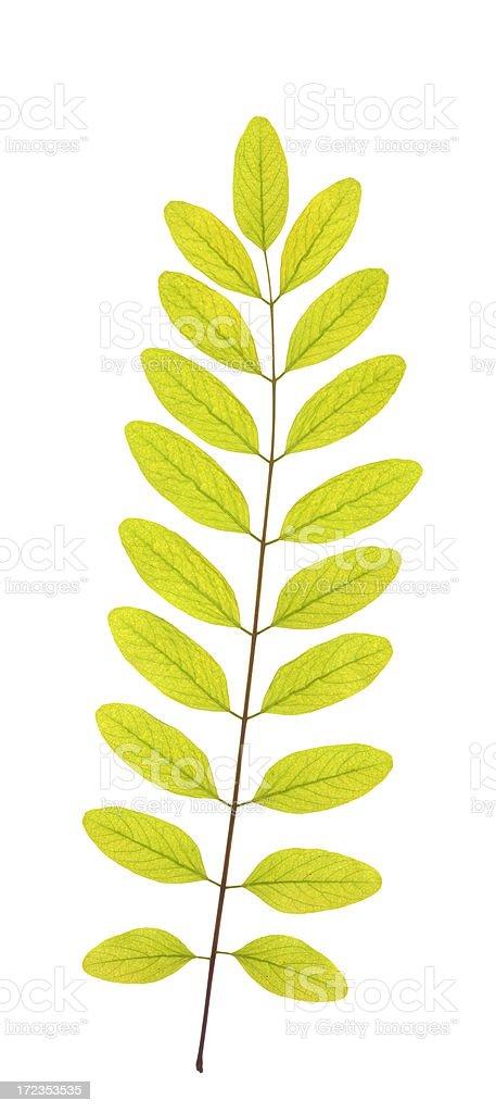 Black locust leaf royalty-free stock photo