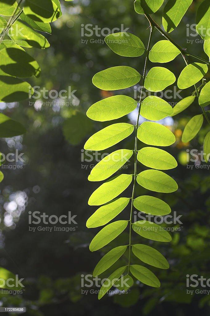 Black locust tree leaf in morning light stock photo