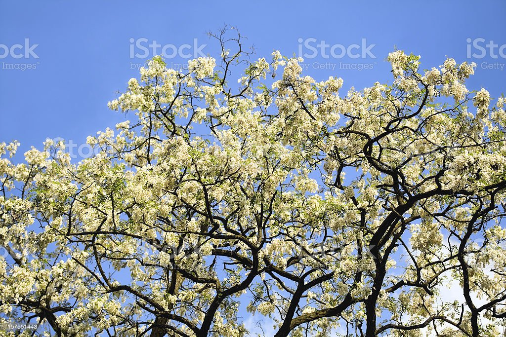 Black Locust tree stock photo