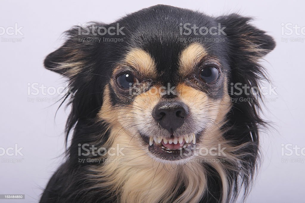 Black long haired Chihuahua growling showing his teeth stock photo