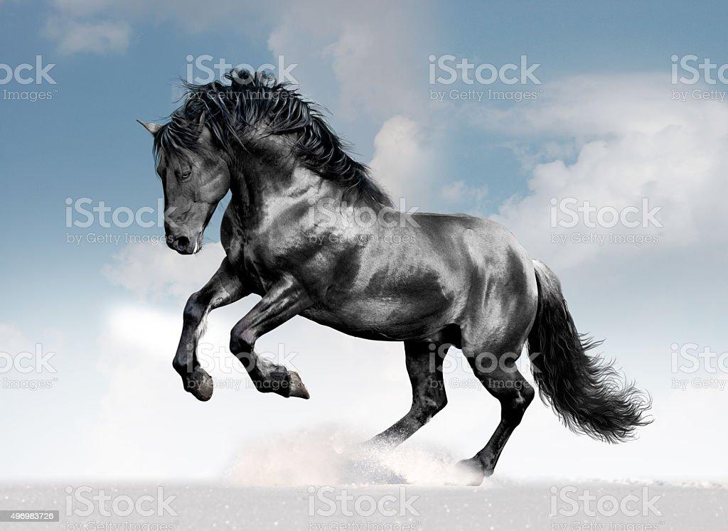 black lusitano horse in winter field stock photo