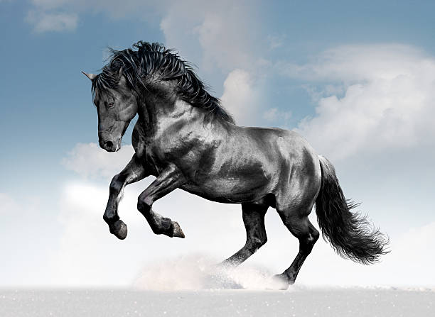 black lusitano horse in winter field black lusitano horse in winter field stallion stock pictures, royalty-free photos & images