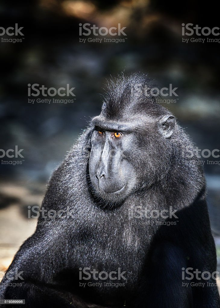 Black Macaque stock photo