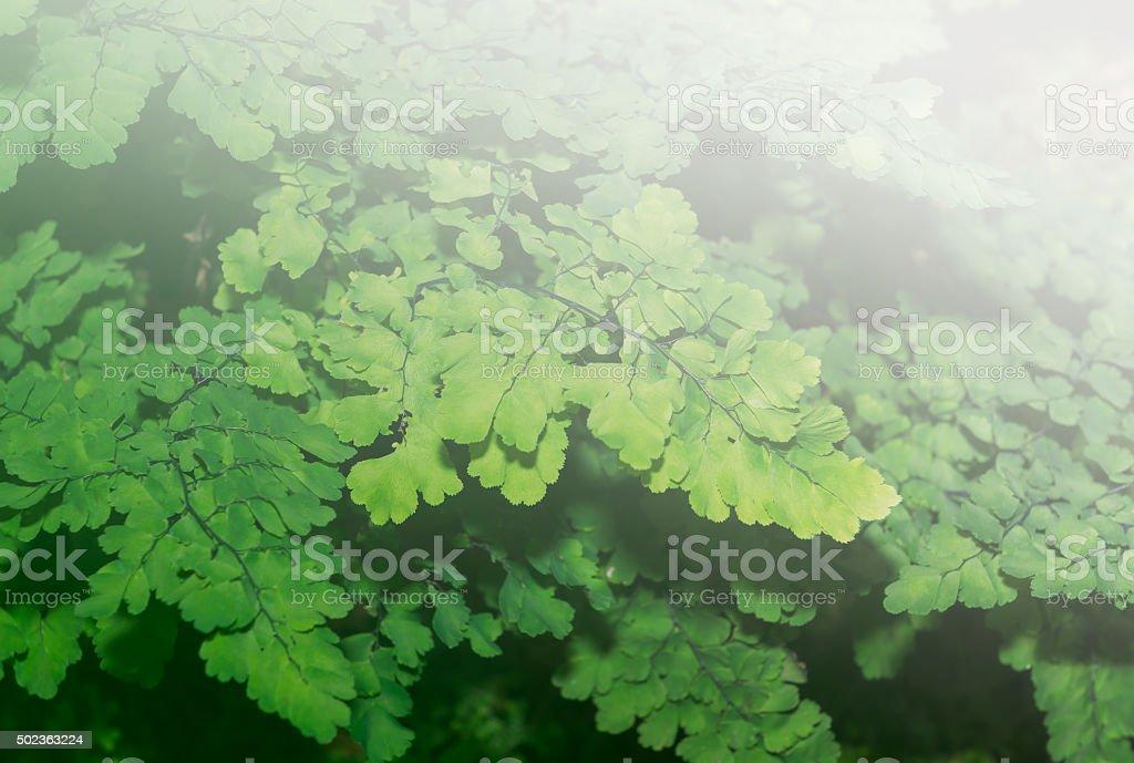 black maidenhair fern, maidenhair fern,or venus hair fern stock photo