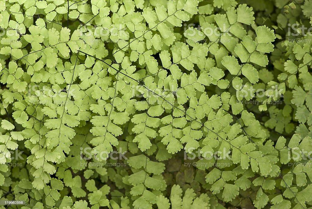 Black Maidenhair fern royalty-free stock photo