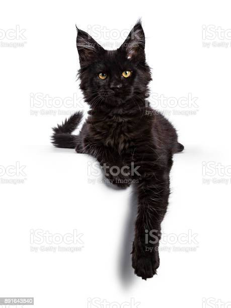 Black maine coon cat kitten laying isolated on white facing camera picture id891643840?b=1&k=6&m=891643840&s=612x612&h=5hmwk jwwzx157hvtsu9dqdrjlvclvrm7mnxuhqtdeo=