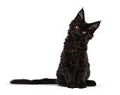 傾いた頭と白の直面しているカメラに分離された黒メインあらいくま猫子猫座って