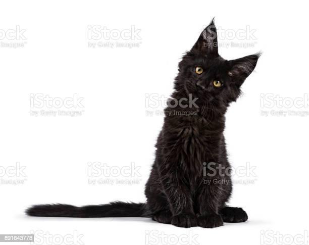 Black maine coon cat kitten sitting isolated on white facing camera picture id891643778?b=1&k=6&m=891643778&s=612x612&h=unk0csqjwhyhl8jbwkwls1s3gq0eg8chw6zx06fbj5g=