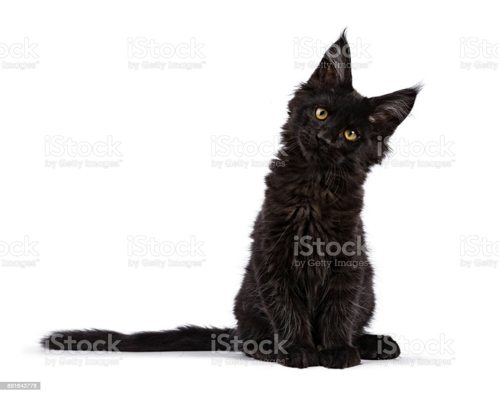 Black Maine Coon cat kitten sitting isolated on white facing camera with tilted head stock photo