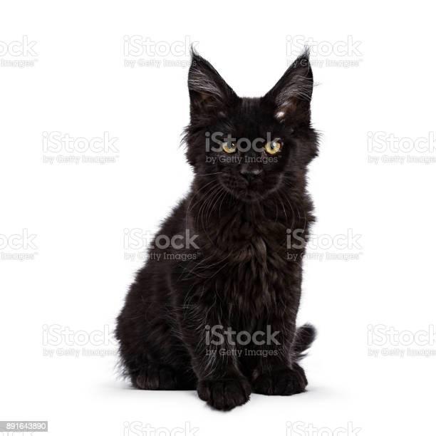 Black maine coon cat kitten sitting isolated on white facing camera picture id891643890?b=1&k=6&m=891643890&s=612x612&h=y q2 gh07tpuncegykt9mo8e 1z1wnmwx2k 1ci2jyq=