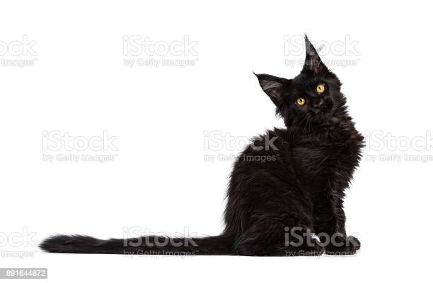 Black maine coon cat kitten sitting side ways isolated on white with picture id891644672?b=1&k=6&m=891644672&s=612x612&h=gjhyo8ilnsqmgidoylzwdzraom01q4 acvmngubtoey=